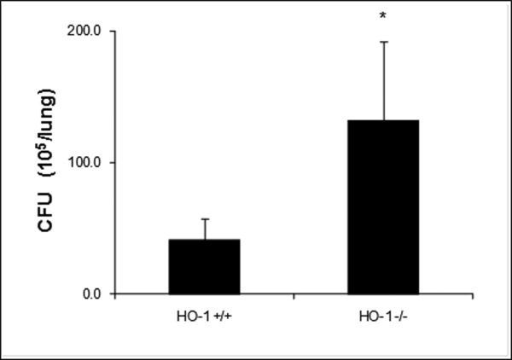 M. avium CFU counts are higher in lung tissue of infected HO-1 -/- mice as compared to lung tissue form infected HO-1+/+ miceMouse lung tissue was homogenized in 2ml of 7H9 broth medium. Then, 100 μl of 10-fold serial dilutions were plated on 7H10 agar plates and incubated for 10-21 days in 37°C after which colony forming units were counted. CFU counts were significantly higher (* P<0.05) in lung tissue of infected HO-1-/- mice as compared to HO-1+/+ mouse tissue. Values represent the average CFU counts from four mice in either non-infected or M. avium infected groups.