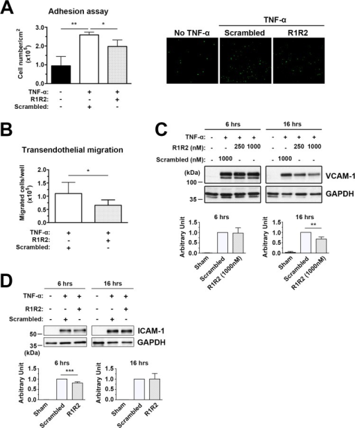 R1R2 decreases TNF-α-induced monocyte U937 cell adhesion to HUVECs and transendothelial migration and reduces ICAM-1 and VCAM-1 levels.(A) HUVECs were pretreated with R1R2 or scramble peptide before treatment with TNF-α (10ng/ml) for 6 hours in the continued presence of R1R2 or scrambled peptide. Calcein-AM labeled U937 monocyte adhesion to TNF-α HUVECs was quantitated by fluorescence intensity. Microscopic images showing U937 monocytes adhering to HUVECs as assessed by in vitro adhesion assay. (B) Calcein-AM-labeled U937 monocytes transmigrated through TNF-α-treated HUVECs. (C) Western blot analysis of ICAM-1 and VCAM-1 expression in TNF-α-treated HUVECs. * indicates p<0.05 and ** p< 0.01.