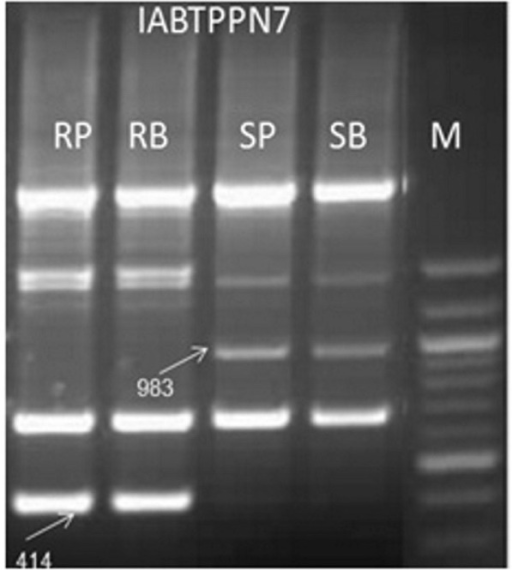 Amplification pattern of coupling phase RAPD markers IABTPPN7983 and repulsion phase RAPD marker IABTPPN7414 in parents and resistant and susceptible bulks. M, 100 bp ladder DNA; RP, Resistant parent - BSMR 736; RB, resistant bulk; SP, susceptible parent - Gullyal white; SB, susceptible bulk.