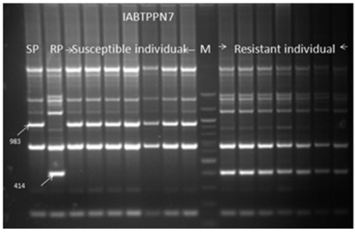 Screening of the seven resistant and seven susceptible F2 plant DNA of the cross Gullyal white × BSMR 736 with a coupling phase RAPD markers IABTPPN7983 and repulsion phase RAPD marker IABTPPN7414, linked to PSMD. SP=PSMD susceptible parent Gullyal white, RP=PSMD resistant parent BSMR 736, Lane M=100 bp DNA ladder.