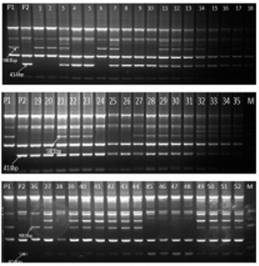 Segregation of coupling phase RAPD markers IABTPPN7983 and repulsion phase RAPD marker IABTPPN7414 across F2 plant DNA of the cross Gullyal white × BSMR 736 linked to PSMD. P1=PSMD susceptible parent Gullyal white, P2=PSMD resistant parent BSMR 736, Lane M=100 bp DNA ladder.