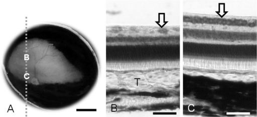 Macroscopic photograph of the ocular fundus with a normal tapetum in the right eye (A). Micrographs (B, C) taken from the parasagittal section which is cut along the dashed line. B, the thickest part of the tapetum; C, the area centralis in the visual streak. Thionine stain (B, C). T, Tapetum; Arrow, ganglion cells. Scale bar=5 mm in A and 50 µm in B and C.