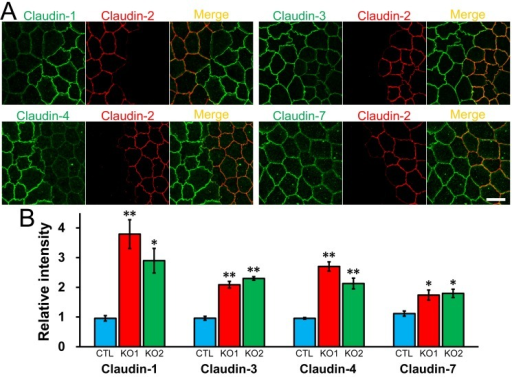 Effects of claudin-2 knockout on the localization of other claudins.(A) Immunofluorescence analysis of claudins in co-culture of control MDCK II cells and claudin-2 knockout clone 1 (KO 1). Claudin-1, -3, -4, and -7 showed clearer and stronger signals at TJs in claudin-2 knockout cells than in control cells. Scale bar = 10 μm. (B) Quantification analysis of signal intensity of claudins at TJs in control MDCK II cells and claudin-2 knockout clones. The signal intensity of claudins at TJs in control cells and claudin-2 knockout clones was measured as described in Materials and Methods, and the relative signal intensity of each claudin was calculated as the ratio of the signal intensity in control cells (CTL) and claudin-2 knockout clones (KO 1 and 2) to the signal intensity in control cells. N = 4 for each experiment. * p < 0.05, ** p < 0.01 compared with control.