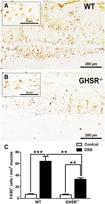 Infiltration of macrophages in DSS-treated WT and GHSR−/−colons. Colonic infiltrating macrophages were examined by immunohistochemical staining of F4/80. More F4/80+ cells were observed in the submucosal region of inflamed WT colon (A) than GHSR−/−(B). In addition, the numbers F4/80+ cells in the mucosal and submucosal layer were counted, and the final results were showed as numbers of F4/80+ cells in per mm2 mucosa (C). Each bar represents the mean ± SEM; *p < 0.05, **p < 0.01, and ***p < 0.005.
