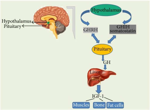 Growth hormone-releasing hormone (GHRH) is a hormone, produced by the hypothalamus which stimulates the pituitary gland to produce GH. Somatostatin secreted by the cells of hypothalamus and also by the cells of stomach, intestine, and pancreas that inhibits GH production. When pituitary secretes GH into the bloodstream, it results in the production of IGF-1 in the liver. IGF-1 is the factor that actually causes the growth of bones and other tissues of the body. It also plays an important role in signalling the pituitary to reduce GH production.