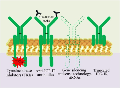 Various strategic approaches to targeting IGF-1R receptors. Small-molecule TKIs, inactivating anti-IGF-1R antibodies, reduction or elimination of IGF-1R, protein expression by blocking IGF-1R, transcription (with triple helix) or translation (antisense technology and siRNA), IGF-1R, and mutants lacking beta-subunits (dominant-negative receptors).