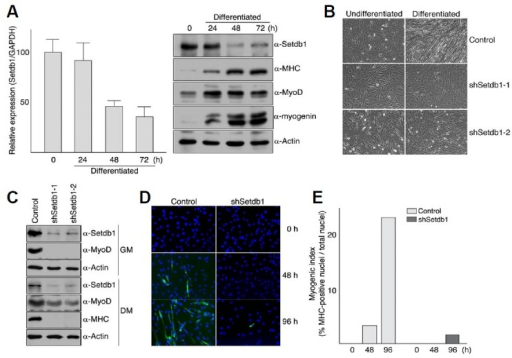 "Inhibition of myogenic differentiation by Setdb1 depletion. (A) levels of Setdb1 decrease during C2C12 myoblast differentiation. C2C12 myoblast cells were grown to confluency in DMEM supplemented with 10% fetal bovine serum and differentiation was induced by serum withdrawal. Cells were harvested at the indicated time points and total RNAs or total protein extracts were prepared as described in ""Materials and Methods"". RNA was analyzed by quantitative real-time RT-PCR using primers specific for Setdb1 and GAPDH. Relative expression of Setdb1 was determined using the standard curve method and then normalized to GAPDH. Error bars indicate standard deviation (left). Proteins were resolved on 7.5% (for Setdb1 and MHC) or 12% (for MyoD, myogenin, and Actin) SDS-PAGE and detected with antibodies against indicated proteins (right). (B-E) C2C12 myoblast cells with Setdb1 shRNA displayed severely delayed differentiation under serum-deprived conditions. C2C12 myoblast cells stably expressing control vector (pLKO.1) or Setdb1 shRNA were maintained in DMEM containing 10% fetal bovine serum and differentiation was initiated as described in Materials and methods. After 72 h, differentiation was assessed by the appearance of myotubes using photomicrograph (B), expression of MHC as well as endogenous MyoD using Western blot analysis (C), and number of MHC-positive nuclei per 103 cells using immunofluorescence (D, E)."