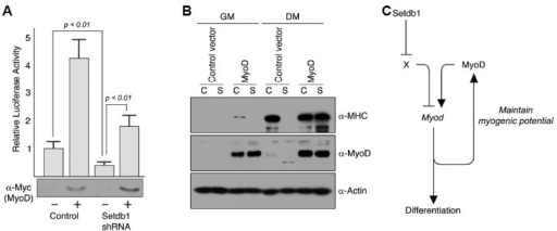 Exogenous MyoD can restore myogenic potential in Setdb1-depleted C2C12 myoblast cells. (A) Exogenous MyoD can transactivate MyoD-luciferase reporter in C2C12 cells depleted of Setdb1. C2C12 cells stably expressing Setdb1 shRNA or control vector were transfected with plasmid expressing myc-MyoD together with a MyoD-luciferase reporter. The empty vector (pcDNA3) was added to adjust the total amount of transfected DNA to 1.0 μg. Data are presented as relative luciferase activity to the control (empty vector) and expression of exogenous Myc-MyoD was verified by Western blot; Data shown are representative of three independent experiments performed in triplicate, and error bars indicate standard deviation. (B) Proliferating C2C12 myoblast cells stably expressing Setdb1 shRNA or control C2C12 cells were infected with retroviruses expressing MyoD. Empty vector (pLZRS-IRES-GFP) was used as a control. Cells were harvested prior to and 72 hours after induction of differentiation and total proteins were extracted. Differentiation was assessed by western blot analysis using antibody against MHC, and exogenous expression of MyoD was shown to confirm retroviral infection (C) Setdb1 is required for myogenic potential via maintenance of endogenous MyoD expression. In our proposed model, we speculate that Setdb1 inhibits repressor (X) of MyoD that could compete with MyoD in normal proliferating C2C12 myoblast cells. However, depletion of Setdb1 leads to inhibition of differentiation as this potential repressor is relieved from suppression.