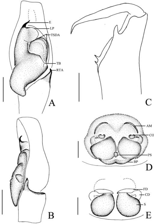 Phintellaarcuata sp. n., A male palp, ventral view B male palp, retrolateral view C left chelicerae of male, posterior view D epigyne, ventral view E vulva, dorsal view. AM atrium margin BP basal plate CD copulatory duct E embolus FD fertilization duct LP lamellar process PL posterior lobe PS poriform structure RTA retrolateral tibial apophysis TB tegulum bump TSDA terminal sperm duct angle S spermathecae. Scale bars: 0.1 mm (A–E).