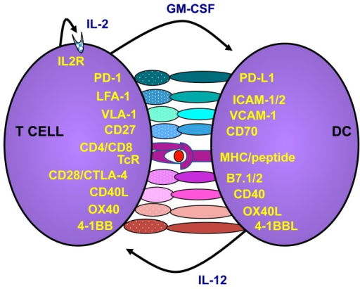 T cells are activated via interactions with antigen presenting cells such as dendritic cells (DCs). When DCs mature they upregulate major histocompatibility complex (MHC) and costimulatory molecules. The T cell recognizing peptides presented by the DC will bind to the DC and receive costimulation. Activated T cells, in turn, express CD40L, which will further stimulate the DCs to increase costimulatory molecules and release cytokines. As an auto-control of immune stimulation, the T cells also express molecules that hamper further activation. For example, PD-1 is upregulated on T cells post activation and if PD-L1 cells are present, the T cells will receive negative signals to restrain activation. Likewise, CTLA-4 will compete with CD28 on binding to the costimulators of the B7 family. However, while CD28 signaling provides costimulation of the T cell, CTLA-4 will block activation. However, the exact mechanism of CTLA-4 is debated.