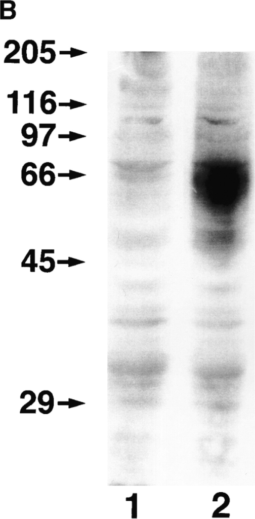 Cell surface expression of LYVE-1 receptor on transfected COS cells. In A, COS 1 cells were transiently transfected with either full-length LYVE-1 cDNA in the expression vector pRcCMV (a and b), or with a control empty pRcCMV vector (c and d) using  DEAE dextran followed by surface immunofluorescent staining with rabbit polyclonal LYVE-1 antiserum (1:100 dilution) and FITC  goat anti–rabbit IgG. In B, control and LYVE-1 transfected COS cells were electrophoresed on a 10% polyacrylamide SDS-PAGE gel,  transferred to nitrocellulose, and Western blotted with LYVE-1 antiserum and peroxidase-conjugated goat anti–rabbit IgG (see Materials and Methods). Samples were control transfected COS (lane 1) and LYVE-1 transfected COS (lane 2). The positions and sizes in kilodaltons of the molecular mass calibration markers myosin (205 kD), β-galactosidase (116 kD), phosphorylase b (97 kD), BSA (66 kD),  ovalbumin (45 kD), and carbonic anhydrase (29 kD) are indicated on the left.