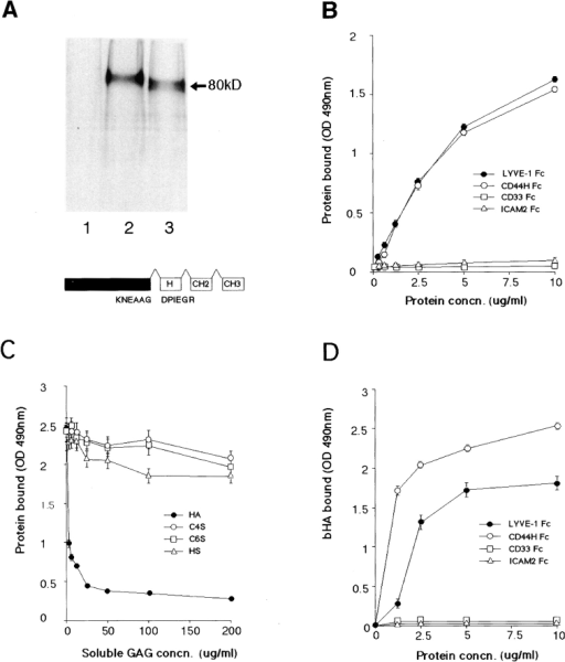LYVE-1 binds both immobilized and soluble HA. LYVE-1, expressed as a soluble IgFc fusion protein in transiently transfected human  COS fibroblasts, was compared with  CD44 for binding to HA and other  glycosaminoglycans. A shows LYVE-1  and CD44H Fc fusion proteins isolated from the supernatants of [35S]  methionine/cysteine-labeled transfectants and electrophoresed on a 7.5%  polyacrylamide SDS-PAGE gel. Samples were the protein A–Sepharose  adsorbed proteins from control untransfected cells (lane 1), CD44H  Fc transfected cells (lane 2), and  LYVE-1 transfected cells (lane 3).  The LYVE-1 fusion protein comprises residues 1–232 of the extracellular domain fused to the hinge (H),  CH2, and CH3 domains of human  IgG1. Details of the CD44H Fc protein, which includes residues 1–200 of  the extracellular domain, have been  published previously (1). For ligand  binding assays, LYVE-1 Fc was compared with CD44H Fc and the negative control fusion proteins CD33 Fc  and ICAM-2 Fc for adhesion to immobilized and soluble HA in 96-well  microtiter plates (see Materials and  Methods). B shows binding of the fusion proteins to immobilized HA, in  the absence of competing glycosaminoglycans; C shows binding (LYVE-1  Fc only) in the presence of free chondroitin-4-SO4, chondroitin-6-SO4, or  heparin; and D shows binding to soluble biotinylated HA. Detection of  bound fusion protein and biotinylated HA was carried out using peroxidase-conjugated anti–human IgFc  antibody and peroxidase-conjugated  streptavidin, respectively. Values are  the mean ± SEM of at least three replicates.