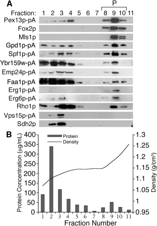 Rho1p enriches with peroxisomes. (A) Organellar 20KgP fractions from cells expressing different pA chimeras or wild-type cells were separated by isopycnic density gradient centrifugation and analyzed by Western blotting. Fractions enriched for peroxisomes (P; 8–10) were identified by the peroxisomal proteins Pex13p-pA, Fox2p, and Mls1p. Peak mitochondrial and Golgi fractions were identified by Sdh2p and Vps15p-pA, respectively. (B) The protein concentration and density profiles for each gradient fraction are presented.