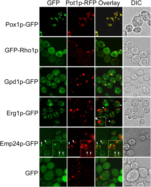 Rho1p, Gpd1p, and Emp24p localize to peroxisomes. Double labeling fluorescence confocal microscopy of yeast cells synthesizing the indicated GFP fusions and containing a plasmid coding for peroxisomal thiolase tagged with RFP (Pot1p-RFP). The GFP chimera of Pox1p (acyl-CoA oxidase) is shown as a control. GFP chimeras of Rho1p and Gpd1p showed punctate signals colocalizing with peroxisomes. The Erg1p-GFP chimera revealed a close association between peroxisomes and lipid bodies (arrowheads; inset is a higher magnification). Emp24p-GFP colocalized with small, Pot1p-RFP–labeled peroxisomes (arrows; insets are higher magnification and longer exposure). Bar, 10 μm.