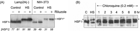 Consequences of genetic and pharmacological blockade of protein degradation pathways on the regulation of HSF1.(A) Effects of riluzole on HSF1 in NIH-3T3 versus Lamp2A RNAi-knockdown cells. Cells in 60 mm plates were treated with 2 μM riluzole at 37°C for 16 hr. For heat shock, cells were placed in a 42°C incubator for 2 hrs. Cells were harvested and aliquots of the RIPA cell extracts containing 10 μg protein were used for immuno-Western blot analysis of HSF1 according to methods described in the text. The position on the gel of the HSF1 and of the heat induced hyperphosphorylated HSF1 is indicated by an *. The relative abundance of the HSF1 protein is indicated at the bottom of the figure. (B) Effects of chloroquine on HSF1. HeLa cells were treated with 0.2 mM chloroquine at 37°C for time periods as indicated. Aliquots of the RIPA cell extract were used for immuno-Western blot detection of HSF1. Extracts from control and heat-shocked cells were included as controls. The position on the gel of the HSF1 and of the heat induced hyperphosphorylated HSF1 is indicated by an *.