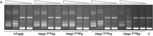 Thr729 mutants are catalytically active in vitro. A total of 120 pmol of purified hTop1p, hTop1Thr729Ala, hTop1Thr729Pro, hTop1Thr729Lys and hTop1Thr729Glu were serially 10-fold diluted and incubated in DNA relaxation assays with negatively supercoiled plasmid DNA. Following incubation at 37°C for 30 min, the reaction products were resolved in agarose gels and visualized after staining with ethidium bromide. C indicates no enzyme control.