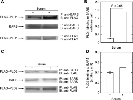 Serum induces CtBP1/BARS association with recombinant PLD1. COS7 cells were transiently transfected with expression vectors encoding either FLAG–PLD1 (A, B) or FLAG–PLD2 (C, D) and cultured for 2 days. After serum starvation for 12 h, cells were stimulated with 10% fetal calf serum, lysed, immunoprecipitated with anti-CtBP1/BARS antibody and subjected to immunoblot analysis (A, C). The amounts of FLAG–PLD1 (B) or FLAG–PLD2 (D) pulled down with CtBP1/BARS in immunoblots (A, C) were quantitated. One representative experiment from at least three separate experiments is shown here. It is noted that serum treatment results in increased association of CtBP1/BARS with PLD1.