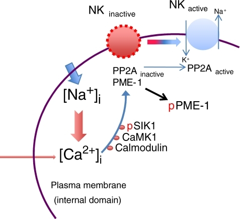 Salt sensing in mammalian cells.The SIK1 pathway is depicted with its presently known signaling components. Increases in Na+ permeability (from basal = ~9 to ~14 mM, [56]) promote transient increases in intracellular Ca2+ via the Na+/Ca2+ exchanger. Sequential activation of calmodulin, calmodulin kinase 1 (CaMK1), and salt-inducible kinase 1 (SIK1) leads to phosphorylation of a phosphomethylesterase 1 (PME-1), promoting its dissociation from the protein phosphatase 2A (PP2A), which is then activated. Dephosphorylation of the Na+,K+-ATPase α-subunit (NK-inactive) triggers the increase in its catalytic activity (NK-active)