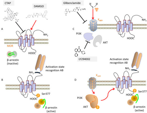 Schematic representation of H2S and opioid receptor int | Open-i