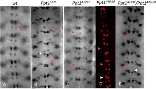 Loss of Ppt1 results in missing EVE+ RP2 neurons in many hemisegments of S16 embryonic CNS.Arrowhead indicates RP2 neuron in all panels. (A). Wild type EVE+ CNS pattern. (B–E) Ppt1 LOF mutants exhibit a variety of phenotype including the loss of EVE+ RP2s in some hemisegments (red arrowhead in B–E), disorganized or missing aCC/pCC clusters (white arrowhead in B, D and E). Anterior, up; caret, midline.
