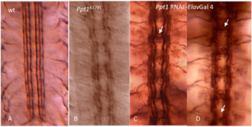 Mutant Ppt1 and Ppt1 RNAi knock-down in neurons result in defective axon tracts in the developing CNS.In all panels, S17 embryos were stained with 1D4 antibody. (A) FASII is expressed in three longitudinal connectives at this stage. (B) Ppt1A179T embryos exhibit discontinuous and frayed longitudinal connectives. (C, D) Ppt1 RNAi expression under the control of elav gal4 driver results in a range of axon guidance phenotype including wavy bundles with some faulty axon crossing over the midline (arrow in C); and disorganized and/or broken connectives, and fused commissures (arrows in D). Anterior, up.