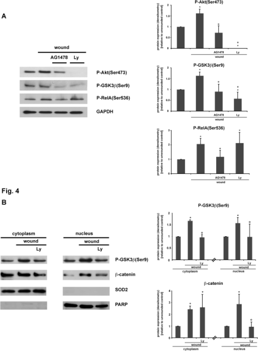 Wounding-induced GSK3ß(Ser9) phosphorylation and ß-catenin nuclear translocation is dependent on PI3K activation.Confluent IEC18 cell monolayers were pretreated for 30 minutes with the specific inhibitors of PI3K activation Ly294002 (25 µM, Ly) and EGF-R autophosphorylation AG1478 (1 µM) or solvent control and then wounded by multiple scraping. (A) Total cell protein extracts were prepared 30 minutes after wounding and analysed via Western blot. Wounding-induced Akt(Ser473)- and GSK3ß(Ser9)-phosphorylation were blocked by Ly294002 as well as reduced by AG1478. As positive control, AG1478 caused inhibition of RelA phosphorylation (indicating NF-kB activation) after wounding is shown [11]. (B) 30 minutes after wounding, cells were lysed, subcellular fractions of nuclear/cytoplasmic protein were prepared and analysed for phospho-GSK3ß(Ser9) and ß-catenin accumulation via Western blot. PARP and SOD2 were only detected in the nuclear or cytoplasmic protein fractions, respectively. (A,B) Densitometry was performed on n = 3–4 different Western blots (each representative of an independent experiment) per condition and normalized to the respective loading controls (GAPDH, SOD, PARP). Protein expression is expressed as -fold protein induction relative to the respective unwounded control. Data are expressed as means ± S.D. of 3–4 different experiments per condition. Statistical analysis was performed by the two-tailed Student's t test (*p<0.05 versus unwounded control, °p<0.05 versus wounded cells).