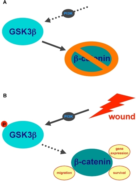PI3K-dependent GSK3ß(Ser9) phosphorylation is implicated in the intestinal epithelial cell wound-healing response (Schematic representation).(A) In resting intestinal epithelial cell monolayers, PI3K is inactive, and GSK3ß in its unphosphorylated (active) state phosphorylates ß-catenin, leading to its inactivation. (B) Wounding activates PI3K, leading to GSK3ß phosphorylation at position Ser9. This phosphorylation inactivates GSK3ß, leading to ß-catenin accumulation in intestinal epithelial cells. ß-catenin translocates to the nucleus, modulating gene expression, cell survival and potentially cell migration as well.
