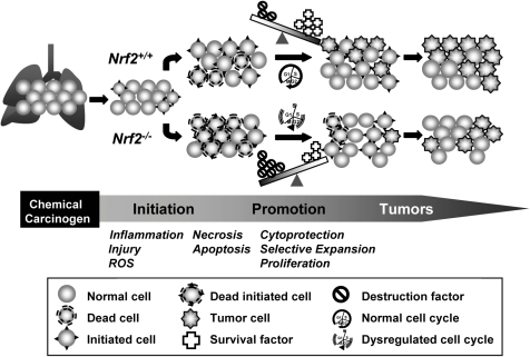 Proposed role for Nrf2 in urethane-induced lung tumorigenesis.Urethane treatment causes pulmonary inflammation and injury during the pre-neoplastic stage, which results in overproduction of reactive oxygen species (ROS) and cellular death by necrosis and apoptosis. Compared to Nrf2+/+ mice, Nrf2-/- mice have lowered cell survival factors including cellular redox and drug metabolism enzymes (e.g., glutathione synthetase, UDP glucuronosyl transferase 1 family) and cell maintenance systems including numerous metabolic enzymes and transport proteins (e.g., solute carrier family). These mice therefore have heightened cellular destruction factors (e.g., ROS, airway secretion, inflammation), which overwhelms cellular cytoprotection tools and causes mass death of injured cells including tumor initiated cells during the pre-neoplastic stage. Nrf2-/- mice also exhibit dysregulated expressions of many genes involved in cell cycle and death (e.g., CDC28 protein kinases, cyclin D1, cyclin dependent kinase inhibitor 2C, B-cell leukemia/lymphoma 6, unc-119 homolog) relative to wild type mice during tumorigenesis. Overall, increased susceptibility to acute injury due to lack of survival signals leading to net cell loss is beneficial to Nrf2-/- mice for their tumor suppression.