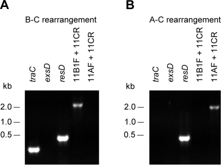 IS11-dependent A–C and B–C rearrangements are involved in loss profiles 2 and 1, respectively.A449-R1 derivative strain harboring a loss profile 1 (A) and A449-R2 derivative strain harboring a loss profile 2 (B) were assessed by PCR, using exsD, traC and resD primers as control (Figure 2B). Primers 11B1F and 11CR were used to assess B–C rearrangement while primers 11AF and 11CR were used to assess A–C rearrangement.