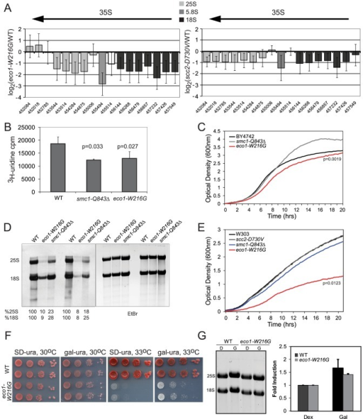 Cohesin mutations compromise production of ribosomal RNA.A. The ratios for microarray probes corresponding to the 25S, 5.8S and 18S transcripts of the rDNA locus are shown for eco1-W216G/WT and scc2-D730V/WT at time 0 from Figure 1. The x axis corresponds to SGD coordinates, ordered by the beginning of the probe with the midpoint of the probe given. The arrow indicates the direction of transcription. The error bars show the standard error. B. Strains were in log phase in SD-ura at 30°C when an aliquot was removed and 3H-uridine was added for 5 min to equal numbers of cells for each strain background. Incorporation was measured by scintillation counting after extensive washing of the cells. Three independent cultures were labeled to derive the standard deviation. Significance was calculated using an unpaired t test. C. A growth curve is shown for the strains in SD-ura medium at 30°C. A similar experiment was performed in the W303a background and is included in Figure S4. D. Strains were grown in SD-met at 30°C and RNA was extracted from equal numbers of cells following a 5 minute pulse with 3H-methylmethionine and a chase with cold methionine. Equal amounts of RNA were run on a formaldehyde gel and photographed following staining with ethidium bromide (EtBr). Then the RNA was transferred to a membrane for exposure. Following exposure, the bands were excised and radioactivity was determined by scintillation counting. Percent incorporation is given as a fraction of WT. Independent biological replicates are shown. E. A growth curve is shown for the strains in SD-met medium at 30°C. F. Growth of the eco1-W216G mutant at 33°C is partially rescued by expression of the rDNA from a Pol II (gal) promoter. G. Total RNA was isolated from the strains shown following growth in raffinose followed by a 5.5. hour incubation with either glucose or galactose. The total amount of 28S+18S was quantified in glucose and galactose.