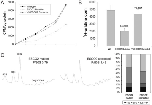 Metabolic labeling of Roberts syndrome fibroblasts suggests protein translation and ribosomal RNA production are reduced.A. Cultured WT, ESCO2-mutation and V5- ESCO2-corrected human RBS fibroblasts were grown in F10 Ham Mixture plus 10% FBS. Cells were washed in PBS twice, switched to 3 mL Met/Cys-free Dulbecco's modied Eagle's medium containing 10 µM MG-132, a proteasome inhibitor, and pulsed with 30 µCi of 35S-methionine for different times (0, 15, 30, 60, 120, 240 min). Cells were lysed in RIPA buffer and proteins were precipitated by the addition of hot 10% TCA. After centrifugation, the precipitate was washed twice in acetone. The precipitate was dissolved in 100 µL of 1% SDS and heated at 95°C for 10 min. An aliquot of the SDS extract was counted in Esoscint for 35S radioactivity in a liquid scintillation spectrometer to determine the amount of 35S-methionine incorporated into proteins. B. Cultured WT, ESCO2-mutation and V5- ESCO2-corrected human RBS fibroblasts were grown in F10 Ham Mixture plus 10% FBS. 3H-uridine (5 µCi) was incubated with 106 cells from each group for two hours. Total RNA was isolated with TriZol reagent (Invitrogen, U.S.A) and the concentration of each RNA sample was measured by OD260/280. 1 µg of each sample was counted in a Beckman LS 6500 multipurpose scintillation counter to determine the amount of 3H-uridine incorporated. Four independent cultures were labeled to derive the standard deviation. Significance relative to WT was calculated using an unpaired t test. C. Ribosome profiling and quantification were carried out as described in Figure 3C.