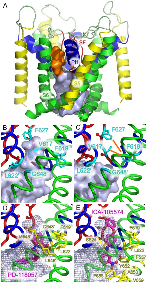 Suggested mechanism of action for hERG activators.(A) Binding pocket for activators, shown here located between the pore helices of two adjacent subunits (orange surface). (B) The experimentally determined binding pocket for PD-118057 and ICA-105574 is located around residue F619 and extends to residue L622 (secondary subunit contacts are marked with a prime symbol). (C) A cascade of conformational changes triggered by collapse of the SF leads to constriction of the binding pocket (orange lines) and rearrangement of L622. (D) The cavity is large enough to accommodate PD-118057. All residues known to affect PD-118057 binding [23] line the pocket (yellow). (E) The activator molecule ICA-105574, shown docked to the side-pocket with residues known to influence binding in yellow.