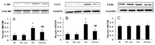 ALA Reduces diabetes-induced myocardial activation of JNK and P38. Total protein was obtained from the hearts of STZ-induced diabetic rats and vehicle rats. Phosphorylated and total JNK, P38 and ERK were determined by Western blot with specific antibodies as indicated. The extent of JNK (A), P38 (B) and ERK (C) phosphorylation was quantified by phosphorylated protein/total protein. Representative image, bar graph, density analysis results from 8 hearts per group. Data represent mean ± standard deviation. *p < 0.05 vs Control group, #p < 0.05 vs. STZ group.