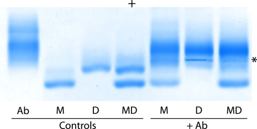 Selectivity of oligomer-specific antibodies as shown by agarose gel electrophoresis. The oligomer-specific antibodies were added to isolated monomers, dimers, or a mixture of monomers and dimers to assess their antigenic specificity. Ab, oligomer-specific antibodies; M, stabilized monomer; D, stabilized dimer; MD, mixture of stabilized monomers and dimers. An asterisk marks the point of the sample application and the anode is marked by a plus sign.