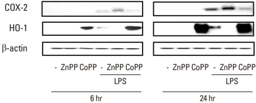 Heme oxygenase-1 (HO-1) activation results in decreased LPS-induced COX-2 expression. Cells were pretreated with the HO activator copper protoporphyrin (CoPP, 10 µM) or the HO inhibitor zinc protoporphyrin (ZnPP, 20 µM) for 10 min followed by LPS (1 µg/mL) or vehicle for 6 h (left) and 24 h (right). Cell lysates at the indicated time points were subject to Western blot analysis of COX-2, HO-1, and β-actin. The blots are representative of three independently performed experiments.