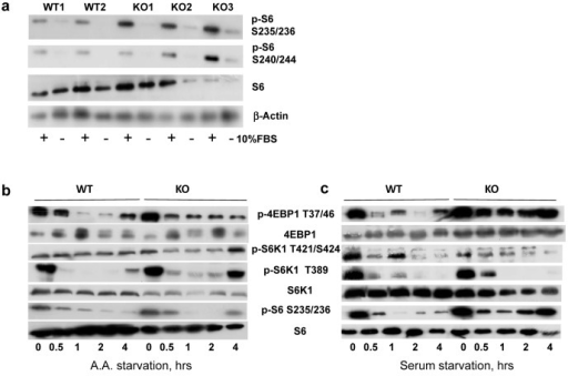 BMAL1 is negative regulator of TORC1 activity in cells(a) Phosphorylation and total protein level of ribosomal S6 protein in primary lung fibroblasts isolated from wild type and Bmal1−/− mice. Protein phosphorylation in cellular extracts were assayed by western blotting procedure with antibodies recognizing the indicated proteins or protein modifications WT1, WT2, KO1, KO2 and KO3 represent independently isolated populations fibroblasts isolated from wild type (WT) and Bmal1−/− (KO) mice. Cells were incubated in DMEM with 10% FBS (+) or serum deprived for 24 hrs (−). (b) and (c) Wild type (WT) and Bmal1−/− (KO) fibroblasts were subject to amino acids (b) or serum (c) withdrawal for indicated period of time. Kinetics of changes in phosphorylation of mTORC1 downstream targets are shown on the representative western blotting.