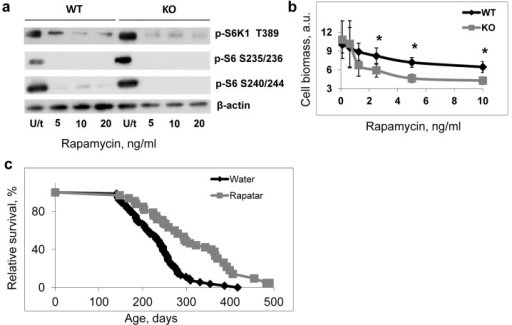Deregulated mTOR signaling contributes to accelerated aging of Bmal1−/− mice(a) Treatment with rapamycin suppresses TORC1 activity in both wild type and Bmal1−/− (KO) cells. Cells were treated with indicated concentrations of rapamycin for 4 hrs, protein phosphorylation in cellular extracts were analyzed by western blotting procedure with antibodies recognizing the indicated proteins or protein modifications. U/t untreated cells. (b) Effect of rapamycin treatment on proliferation of wild type (black diamonds) and Bmal1−/− (KO) (grey squares) cells. Cells were grown for 72 hrs in regular growth media with indicated concentrations of rapamycin. Cell biomass was assayed by crystal violet incorporation. Data represent average and standard deviations for 4 replicates. The experiment was repeated 3 times with similar results. a.u. – arbitrary units. * - statistically significant difference between genotypes. (c) Kaplan-Meyer survival curves of Bmal1−/− mice treated with water (N = 73) or Rapatar in drinking water (N = 31). The difference between the survival curves is statistically significant according to logrank test.