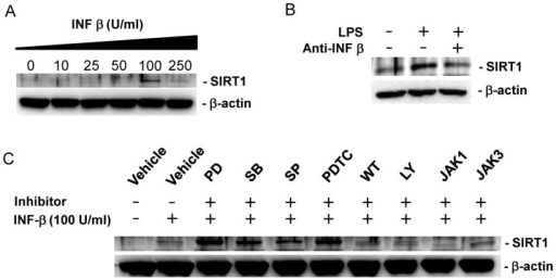 LPS increases SIRT1 expression by IFN-β mediated signaling pathway in BMDMs.(A) Dose dependant effect of IFN-β on SIRT1 protein expression. BMDMs were incubated with the indicated doses of IFN-β for 24 h. A western blot was performed for SIRT1 with β-actin as a loading control. (B) The effect of IFN-β neutralizing antibody on LPS-induced SIRT1 expression. BMDMs were treated with LPS in the presence or absence of IFN-β neutralizing antibody (1 μg/mL) for 24 h. (C) The effect of various inhibitors for signal transduction on IFN-β-induced SIRT1 expression. BMDMs were pretreated with vehicle (DMSO), 10 μM PD098059 (PD), 10 μM SB203580 (SB), 10 μM SP600125 (SP), 10 μM PDTC, 1 μM wortmannin (WT), 5 μM LY294002 (LY), 5 μM JAK1 inhibitor (JAK1), and 10 μM JAK3 inhibitor (JAK3) for 1 h and further treated with 100 U/ml IFN-β for 24 h. Full-length blots are presented in Supplementary Figure S3–S5. The Western blot shown is a representative of three independent experiments.