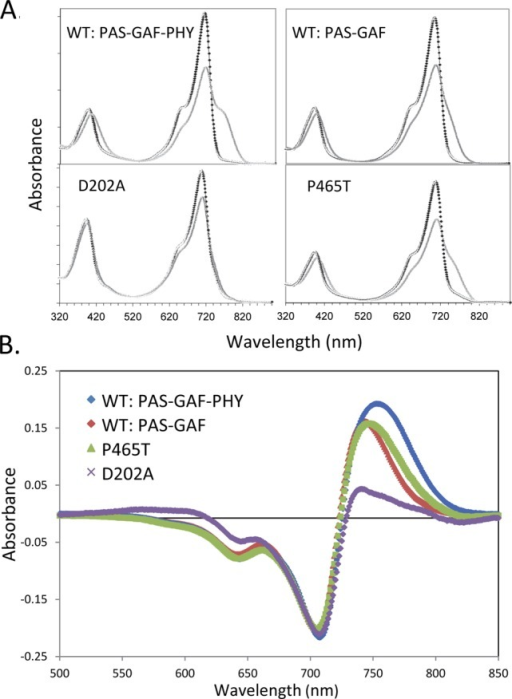 (A) Absorbancespectra for RpBphP2 PAS-GAF-PHY, PAS-GAF, PAS-GAF-PHYD202A, and PAS-GAF-PHY P465T mutants in the Pr state (black line)and photoconverted state (gray line); (B) light-minus-dark differenceabsorption spectra of RpBphP2 wild-type PAS-GAF-PHY (blue line), PAS-GAF(red line), D202A (magenta), and P465T (green line).