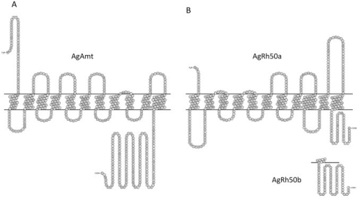 Amino acid plots of AgAmt (A) and AgRh50 (B) depicting the 11 transmembrane domains.AgRh50a and AgRh50b differ only in their C-terminal regions.