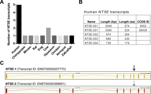 The human NT5E gene is regulated by alternative splicing. (A) Species comparison of the number of NT5E predicted transcripts using the Ensembl database. (B) Human NT5E has five splice variants, all predicted to be protein coding (bp, base pairs; aa, amino acids), but only two are annotated by CCDS. (C) The CCDS-validated transcripts NT5E-001 (NT5E-1) and NT5E-201 (NT5E-2), which differ with respect to the presence of exon 7 (arrow) in NT5E-1, are shown schematically.