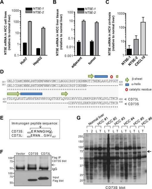 NT5E-2 is up-regulated in cirrhosis, and HCC and encodes a shorter CD73 protein (CD73S), which is functionally distinct from canonical CD73 (CD73L). (A–C) Relative expression of NT5E-1 and NT5E-2 mRNA in HCC cell lines (A), tumors and adjacent nontumor tissue from HCC surgical specimen obtained from six patients (B), and biopsies from patients with HCV-associated cirrhosis of the liver (C; clinical information on the human HCC and cirrhosis samples provided in Supplemental Table S2). CXCL10 is included as a positive control for HCV cirrhosis samples (Brownell and Polyak, 2013). (D) Protein sequence alignment of the C-termini of CD73L (NP_002517) and CD73S (NP_001191742). The 50 residues (404–453) missing in CD73S form three β-strands and two α-helices and include a catalytic residue (Phe-417). (E) Sequence of the synthetic peptide (ERNNGIHV) used to generate rabbit anti-CD73S antibodies. (F) Detection of total Flag-CD73S and Flag-CD73L protein (bottom) and validation of the CD73S antibody reactivity in Flag immunoprecipitates of transfected HEK293T cell lysates. CD73S and CD73L have predicted molecular weight of 58 and 63 kDa, respectively, but migrate at ∼67 and ∼72 kDa because of glycosylation and the Flag tag. (G) CD73S immunoblot of total tissue lysates from two normal human livers (1, 2) and six HCC paired tumors (T) and adjacent uninvolved liver (L) tissues (HCC 1–6; same as those used in B).