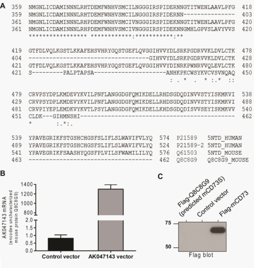 Lack of evidence for mouse CD73S protein expression. (A) Sequence alignment of the C-termini of human CD73L (Uniprot ID P21589), human CD73S (P21589-2), mouse CD73 (Q61503), and a putative mouse protein (Q8C8G9), which shares sequence similarity to the human CD73S variant. (B) Overexpression of AK047143, which encodes the putative protein Q8C8G9, results in robust mRNA expression in primary mouse hepatocytes. (C) Flag immunoblot of lysates from transfected mouse hepatocytes demonstrating lack of Q8C8G9 protein expression (left lane).