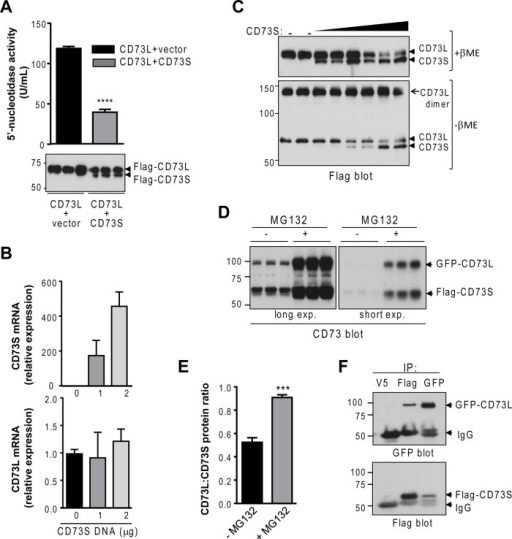 CD73S negatively regulates CD73L expression in a proteasome-dependent manner. (A) Measurement of 5′-nucleotidase activity in lysates from HEK293T cells transfected with equal amount of Flag-CD73L cDNA together with empty vector or Flag-CD73S. ****p < 0.0001, unpaired t test. (B) Measurement of CD73L (endogenous) and CD73S (transfected) mRNA in Huh-7 cells, showing that CD73S does not affect CD73L mRNA. (C) Determination of the effect of increasing levels of CD73S on CD73L dimer formation, which is detected under nonreducing conditions (–βME). (D) CD73 immunoblot of CD73-transfected HEK-293T lysates (±MG132). The same membrane under two exposure times from a triplicate experiment is shown. (E) Quantification of blot from D, showing that MG132 restores CD73L protein levels. ***p < 0.001, unpaired t test. (F) Reciprocal coimmunoprecipitation of CD73S/L-transfected HEK293T lysates, demonstrating that CD73S complexes with CD73L. Anti-V5 antibody was used as a negative control.