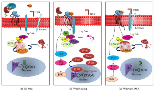 Role of antagonists in Wnt signaling pathway.