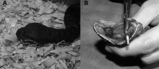 Clinical aspects of the natural Vipera ammodytes × V.berus hybrid. A) The animal was kept in a terrarium with wood chips as asubstrate and presented large swelling of the cephalic region and seizures. B)Hemorrhagic stomatitis of the oral mucosa resulting in abscessation and osteomyelitisdue to S. Arizonae and M. morganii.