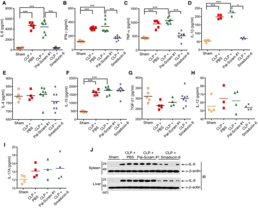 Smaducin-6 reduces systemic pro-inflammatory cytokines in CLP-induced sepsis miceA–I Smaducin-6 treatment decreased the concentration of IL-6, TNF-α, IFN-γ, and IL-1β in the blood of CLP mice (A–D), but not IL-4, IL-10, TGF-β1, IL-12, or IL-17A (E–I). Cytokine concentrations were analyzed by ELISA. n = 10 mice per group per experiment. Data were statistically analyzed by the Dunnett's multiple comparison test (one-way ANOVA). ***P < 0.001, **P < 0.005, *P < 0.05 compared to sham or vehicle control (CLP + Pal-Scram #1).J Expression of the IL-6 protein is reduced in the spleen and liver of Smaducin-6-treated CLP mice. Each lane represents independent mice.Source data are available online for this figure.