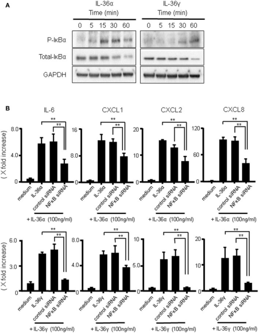 The activation of IκBα by IL-36α or IL-36γ in human colonic SEMFs. (A) SEMFs were stimulated with 100 ng/ml of IL-36α or IL-36γ for the indicated pre-determined times. Expression of phosphorylated (p-) and total IκBα was sequentially evaluated by Western blotting. The data are representative of three independent experiments. (B) SEMFs were transfected with NF-κBp65 siRNA and cultured for 2 days. The cells were then stimulated with or without 100 ng/ml of IL-36α (top panels) or IL-36γ (bottom panels) for 24 h. The mRNA expression of IL-6 and the indicated chemokines was then evaluated using real-time PCR. The mRNA expression for IL-6 and chemokine was converted to a value relative to β-actin mRNA expression and presented as fold-increase relative to the results for medium alone (no stimulation). Data are expressed as means ± SD of four independent experiments. *P < 0.05, **P < 0.01; significant differences from the values for IL-36α or IL-36γ stimulation.