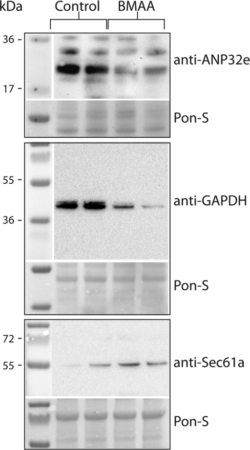 Verification of mass spectrometry results.Total protein extracts (40 μg per lane) from BMAA- and control-injected larvae were separated by SDS-PAGE and transferred to PVDF membranes for Western blotting with the indicated antibodies. Ponceau-S staining was used as loading control. Blots show control and BMAA-injected samples from two individual experiments.