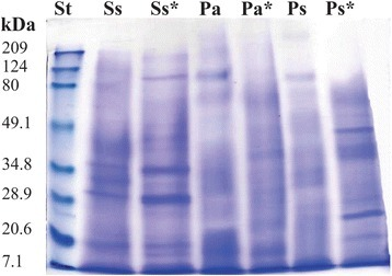SDS-PAGE gel (12% acrylamide) showing an overview of the protein profiles of S. siderea (Ss), P. astreoides (Pa), and P. strigosa (Ps) extracts under native conditions. Ss*, Pa*, and Ps* correspond to the extracts under reducing conditions. The protein profiles were compared with a broad-range polypeptide standard (St). Protein bands were visualized with Coomassie brilliant blue staining solution